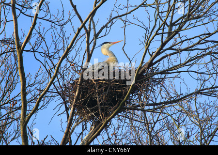 grey heron (Ardea cinerea), sitting in the nest in a tree - Stock Photo