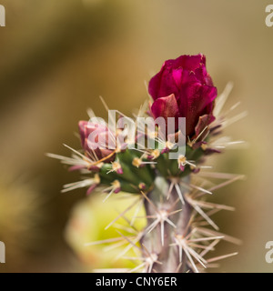 Macro photograph of a Buckhorn Cholla blossom and bud with a Teddy Bear Cholla blossom in the background (out of - Stock Photo