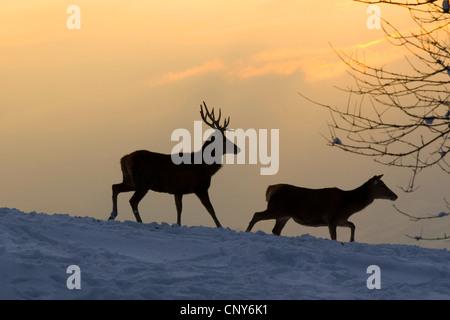 red deer (Cervus elaphus), pair in evening mood on a snow covered field, Austria, Vorarlberg - Stock Photo