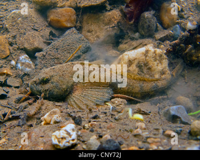 Miller's thumb, bullhead (Cottus gobio), male well camouflaged on mud and pebble ground, Germany, Bavaria, Goldach - Stock Photo
