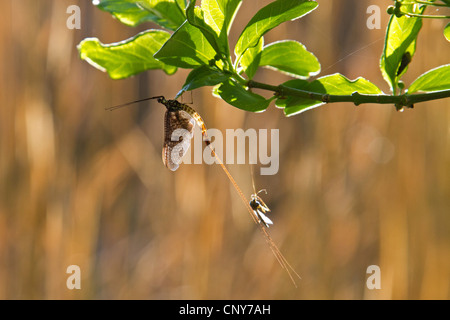 mayflies (Ephemeroptera), sitting at a twig with the remains of the skinning, Germany, Bavaria, Lake Chiemsee - Stock Photo