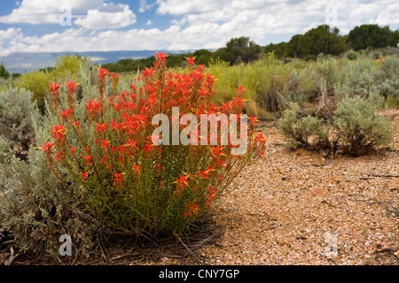 Indian Paintbrush (Castilleja spec.), blooming in desert, USA, Utah - Stock Photo