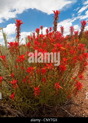 Indian Paintbrush (Castilleja spec.), blooming, USA, Utah - Stock Photo