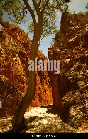 eucalyptus, gum (Eucalyptus spec.), eucalyptus tree in the narrow rock gorge 'Simpson's Gap' of red sandstone, Australia, - Stock Photo