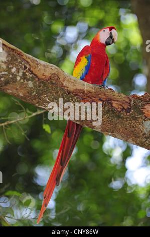 scarlet macaw (Ara macao), sitting on a branch, Honduras, Copan, Copan - Stock Photo