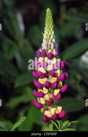 bigleaf lupine, many-leaved lupine, garden lupin (Lupinus polyphyllus), inflorescence - Stock Photo