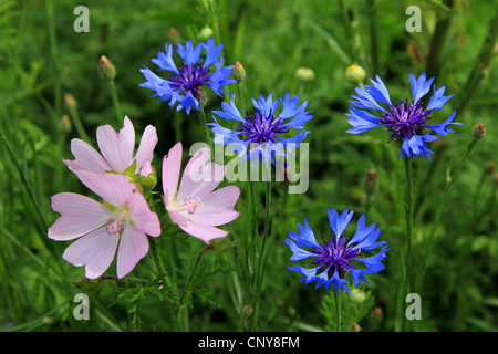 musk mallow, musk cheeseweed (Malva moschata), blooming musk mallow with cornflowers, Germany - Stock Photo