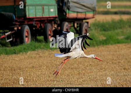 white stork (Ciconia ciconia), flying over stubble field, Germany - Stock Photo