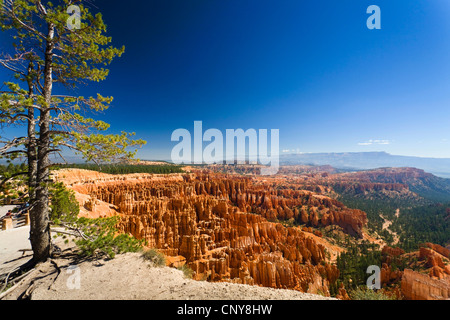 Limber pine (Pinus flexilis), growing at Inspiration Point with wiew of 'Silent City' in amphitheatre of Bryce Canyon, - Stock Photo