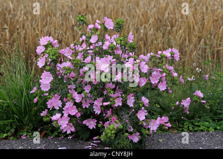 musk mallow, musk cheeseweed (Malva moschata), blooming at a wayside, Germany - Stock Photo
