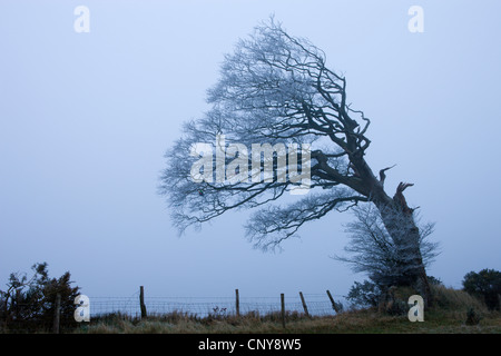 Windswept tree coated in hoar frost on foggy evening at Raddon Hill, Devon, England. January 2009 - Stock Photo