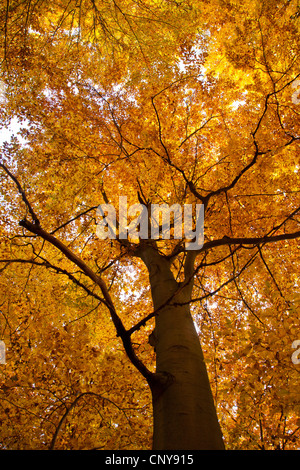 common beech (Fagus sylvatica), view into the tree crown in autumn, Germany, Bavaria - Stock Photo