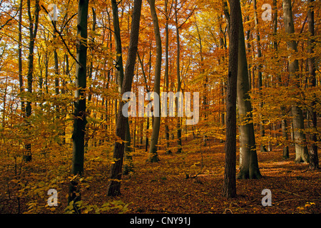 common beech (Fagus sylvatica), beech forest in autumn, Germany, Bavaria - Stock Photo