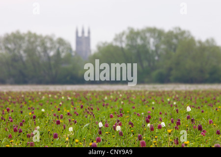 Snake's Head fritillary (Fritillaria meleagris) wildflowers at North Meadow National Nature Reserve, Cricklade, - Stock Photo