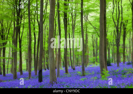 Carpet of bluebells wildflowers growing in the beech woodland at West Woods, Lockeridge near Marlborough, Wiltshire - Stock Photo