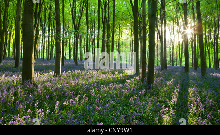 Early morning sunlight in West Woods bluebell woodland, Lockeridge, Marlborough, Wiltshire, England. Spring (May) - Stock Photo