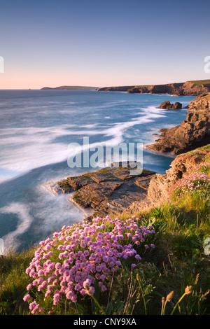 Flowering Sea Thrift (Armeria maritima) on the Cornish clifftops near Porthcothan, with views to Trevose Head, Cornwall - Stock Photo