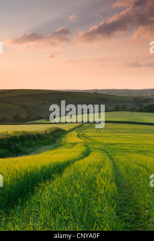 Summer crops growing in a field near Lanreath, Cornwall, England. Summer (June) 2010. - Stock Photo