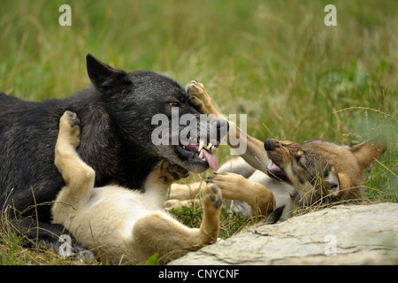 European gray wolf (Canis lupus lupus), playing with puppies, Germany - Stock Photo