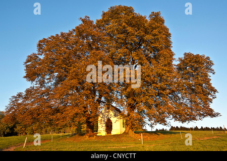 common horse chestnut (Aesculus hippocastanum), in autum with chapel, Germany, Bavaria - Stock Photo