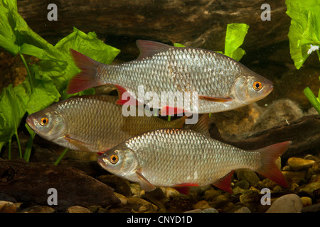 rudd (Scardinius erythrophthalmus), three fishes at the pebble ground of a water - Stock Photo
