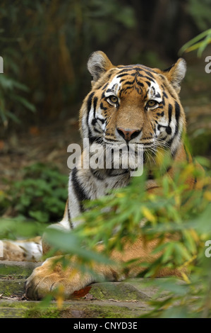 Siberian tiger, Amurian tiger (Panthera tigris altaica), lying - Stock Photo