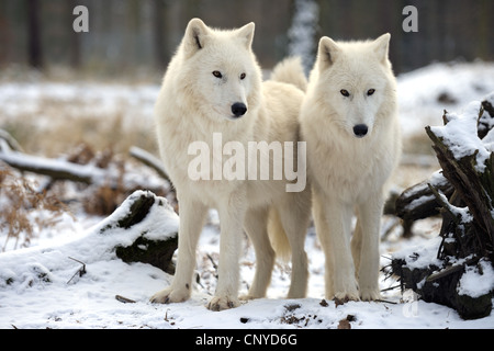 arctic wolf, tundra wolf (Canis lupus albus, Canis lupus arctos), two wolves standings side by side in snow - Stock Photo