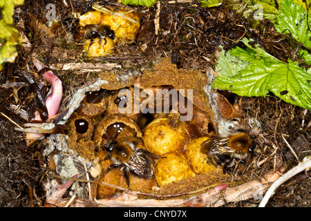 buff-tailed bumble bee (Bombus terrestris), nest with honeycombs, Germany, Bavaria - Stock Photo