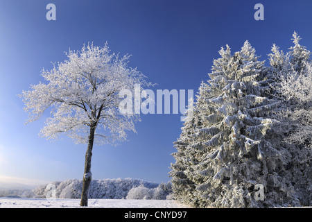 Norway spruce (Picea abies), snow covered forest edge and blue sky, Germany, Hesse, Rhoen, Wasserkuppe - Stock Photo