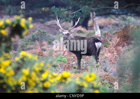 A sika stag on the heathland in the Autumn UK - Stock Photo