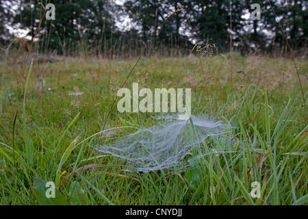 European sheet-web spider, money spider, sheet-web weaver, line-weaving spider, line weaver (Linyphia triangularis), - Stock Photo