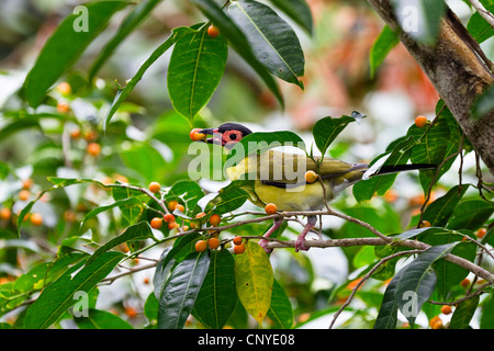figbird (Sphecotheres viridis), figbird male feeding on figs, Australia, Queensland, Daintree National Park - Stock Photo
