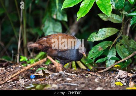 orange-footed scrub fowl (Megapodius reinwardt), on the feed, Australia, Queensland - Stock Photo