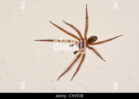 lace weaver spider, window lace weaver (Amaurobius similis), male at a room wall - Stock Photo