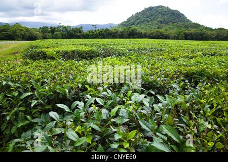 tea plant (Camellia sinensis, Thea sinensis), Tea plantation, Australia, Queensland, Daintree National Park - Stock Photo