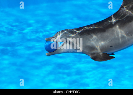 bottle-nose Dolphin, bottlenosed dolphin, common bottle-nosed dolphin (Tursiops truncatus), swimming with a ball - Stock Photo