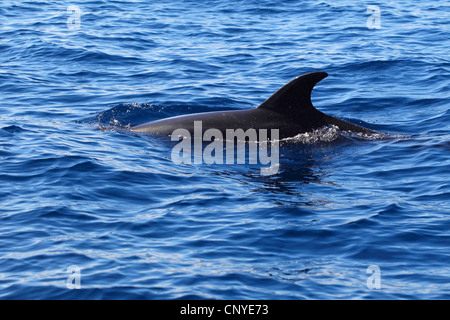 bottle-nose dolphin, bottlenosed dolphin, common bottle-nosed dolphin (Tursiops truncatus), swimming at the water - Stock Photo