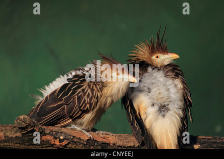guira cuckoo (Guira guira), two birds sitting together on a branch - Stock Photo