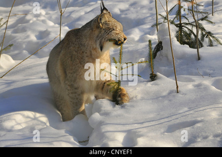 Eurasian lynx (Lynx lynx), sitting in snow nibbling a young spruce, Germany - Stock Photo