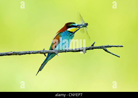 European bee eater (Merops apiaster), sitting on a branch with dragonfly in its beak, Bulgaria - Stock Photo