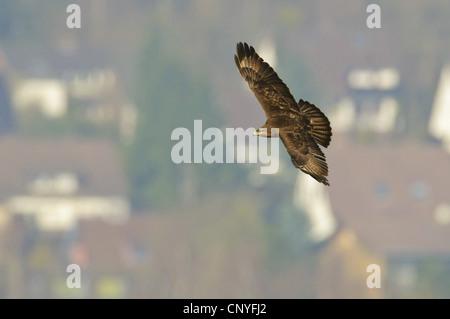 Eurasian buzzard (Buteo buteo), flying over a settlement, Germany, Lower Saxony, Neuhaus, Solling, , - Stock Photo