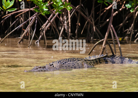 saltwater crocodile, estuarine crocodile (Crocodylus porosus), Estuarine Crocodile in mangroves, Australia, Queensland, - Stock Photo