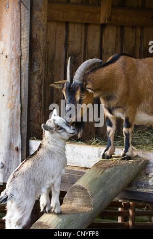 domestic goat (Capra hircus, Capra aegagrus f. hircus), goat with fawn at the stable, Germany - Stock Photo