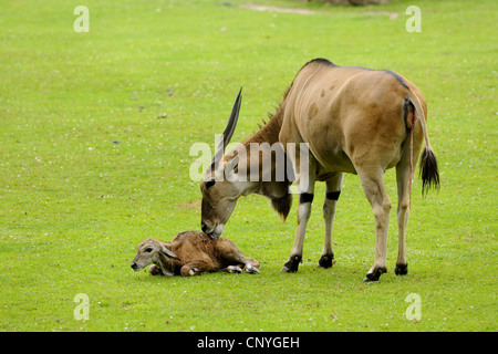Common eland, Southern Eland (Taurotragus oryx, Tragelaphus oryx), mother licking her young - Stock Photo