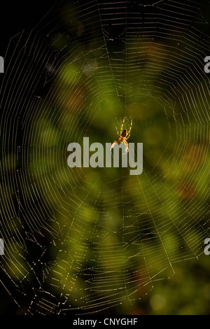 cross orbweaver, European garden spider, cross spider (Araneus diadematus), sitting in the net, Germany, Bayern - Stock Photo