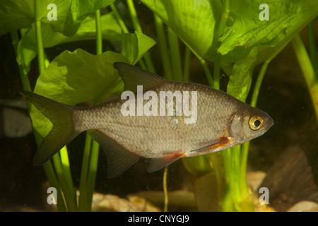 silver bream, white bream (Blicca bjoerkna, Abramis bjoerkna), swimming in front of pond-lilies - Stock Photo