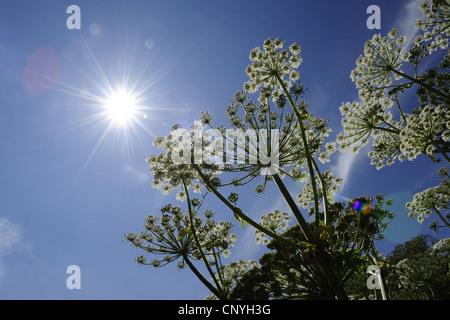 giant hogweed (Heracleum mantegazzianum), blooming, Germany - Stock Photo