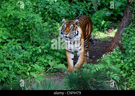 Sumatran tiger (Panthera tigris sumatrae), in shrubbery