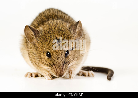 house mouse (Mus musculus), sitting on the ground, Germany - Stock Photo