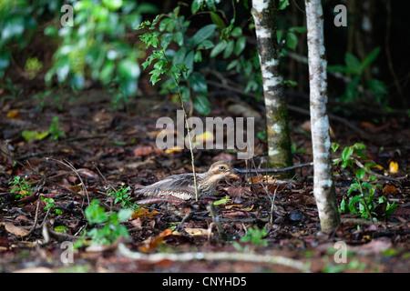 Bush stone-curlew, Bush Thick-Knee (Burhinus grallarius), on its nest, Australia, Queensland - Stock Photo